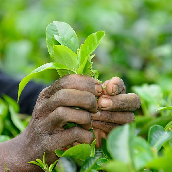 Faites la différence entre un thé bio et un thé conventionnel