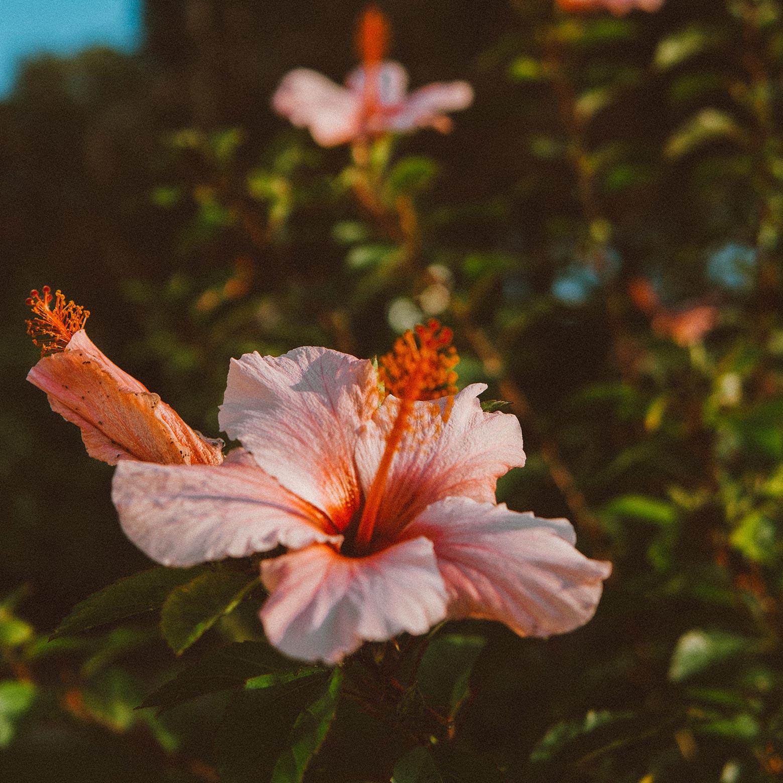 fleur-dhibiscus